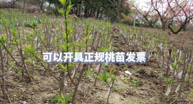 阳山水蜜桃苗